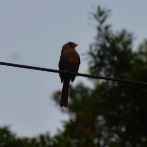 cardinal mate.jpg